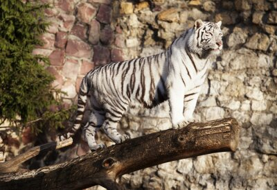 Affisch Vit tiger
