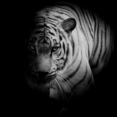 Affisch Vit tiger isolerad på svart bakgrund