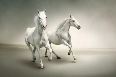 Affisch vita hästar