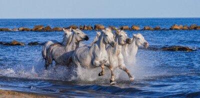 Affisch VitCamargue hästar galoppe längs havet stranden. Parc Regional de Camargue. Frankrike. Provence. En utmärkt illustration