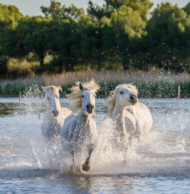 Affisch VitCamargue Hästar som körs i träsk naturreservat. Parc Regional de Camargue. Frankrike. Provence. En utmärkt illustration