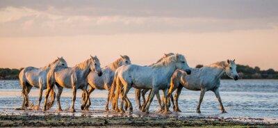 Affisch VitCamargue hästar stå i träsk naturreservat. Parc Regional de Camargue. Frankrike. Provence. En utmärkt illustration
