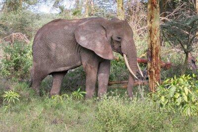 Affisch Vuxen elefant med stora betar står i profil nära trädstam. Lake Manyara National Park, Tanzania, Afrika.