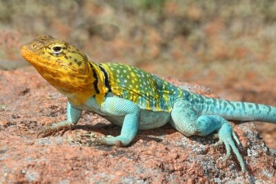Affisch Western Collard Lizard (crotaphytus collaris)