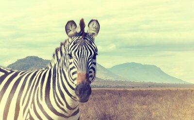 Affisch Wild afrikansk zebra. Vintage effekt