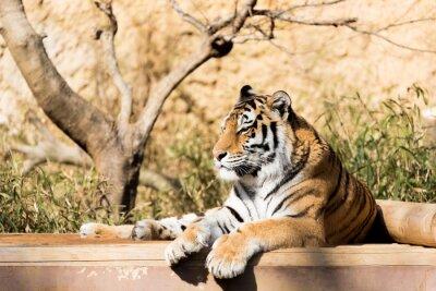 Affisch 虎