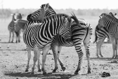 Affisch Zebra besättning i svartvitt foto med huvuden ihop