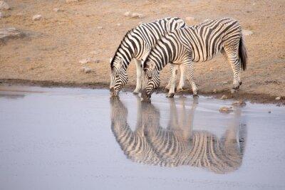 Affisch Zebra dricka ur en vattenhål