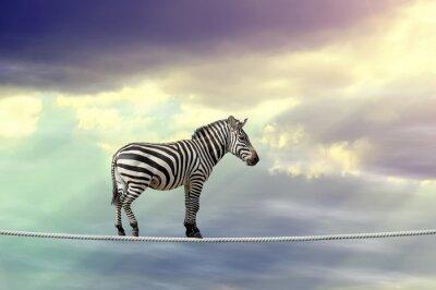 Affisch Zebra går på en lina