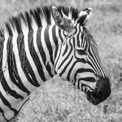Affisch Zebra i nationalparken. Afrika, Kenya