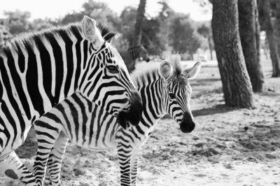 Affisch Zebra i Safari i Tel-Aviv