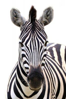 Affisch Zebra isolerad på vitt