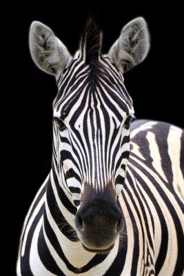 Affisch Zebra isolerat på svart