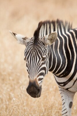 Affisch Zebra porträtt, Kruger Park, Sydafrika