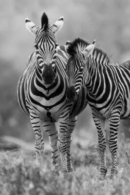 Affisch Zebra sto och föl som står nära varandra i busken för säkerhet a