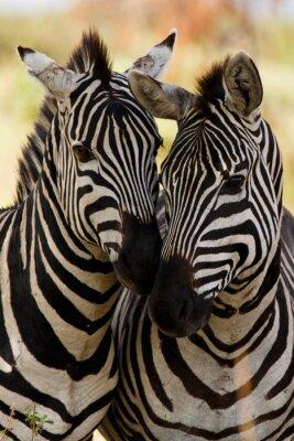 Affisch zebra vänner