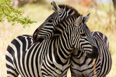 Affisch zebror