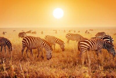 Affisch Zebror flock på afrikanska savannen i solnedgången.