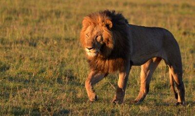 Canvastavlor African Lion