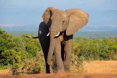 Canvastavlor Afrikansk elefant, Addo Elephant National Park