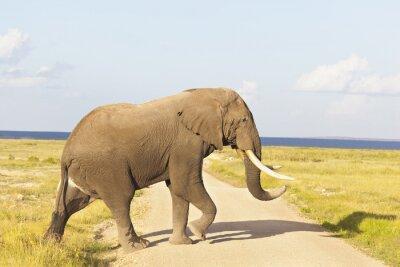 Canvastavlor Afrikansk elefant i Kenya