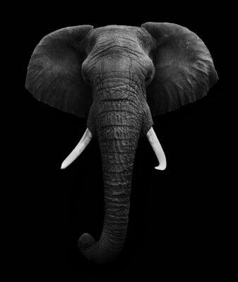 Canvastavlor Afrikansk elefant isolerad