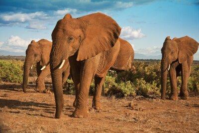 Canvastavlor Afrikansk elefant matriarkat mot en blå himmel