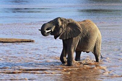Canvastavlor Afrikanska elefanter i savannen