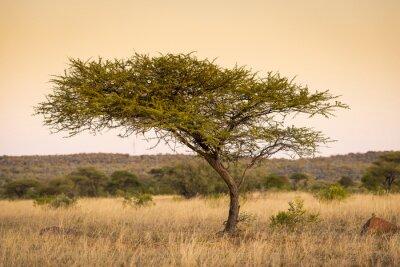 Canvastavlor Akacia Tree Afrika
