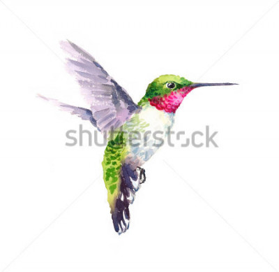 Canvastavlor Akvarell Bird Hummingbird Flying Hand Drawn Summer Garden Illustration isolerad på vit bakgrund