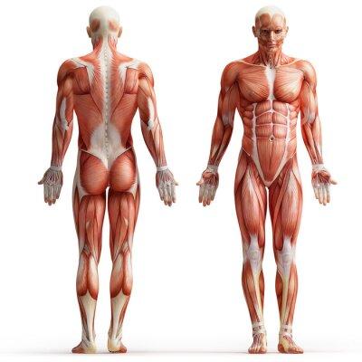 Canvastavlor anatomi, muskler