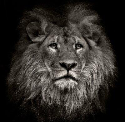 Canvastavlor arrogant lejon