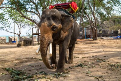 Canvastavlor asiatisk elefant