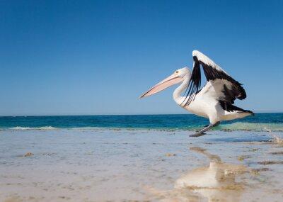 Canvastavlor Australien, Yanchep Lagoon, 2013/04/18, australiska pelikan tar fart under flygning från en australiensisk strand