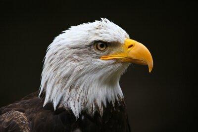 Canvastavlor Bald Eagle profil