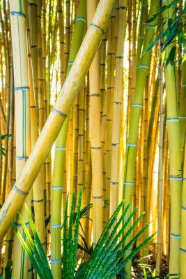 Canvastavlor Bamboo forest. Natural background. bamboo plant