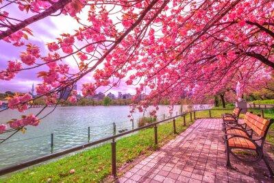 Canvastavlor Bänkar under körsbärsträd i full blom under Hanami längs Shinobazu Pond i Ueno Park, en park nära Ueno Station, centrala Tokyo. Ueno Park anses vara den bästa platsen i Tokyo för körsbärsblomningar.