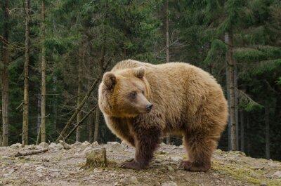 Canvastavlor Bear söker våren i skogen