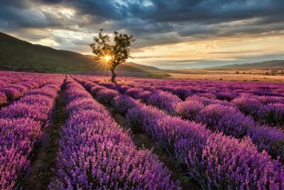 Canvastavlor Bedövning landskap med lavendel fält på soluppgången