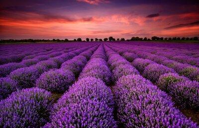 Canvastavlor Bedövning landskap med lavendel fält vid solnedgången