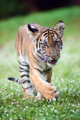 Canvastavlor Bengal baby tiger vandrar över en äng.