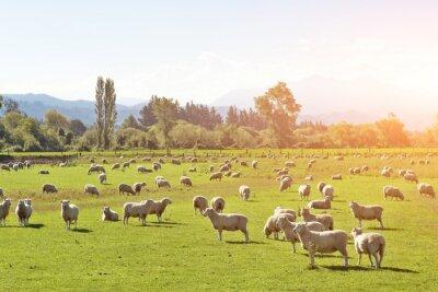 Canvastavlor betesmark med djur i sommar solig dag i Nya Zeeland