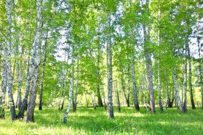 Canvastavlor björkskog