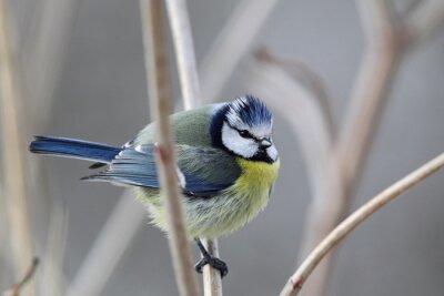 Canvastavlor Blåmes (Parus caeruleus)