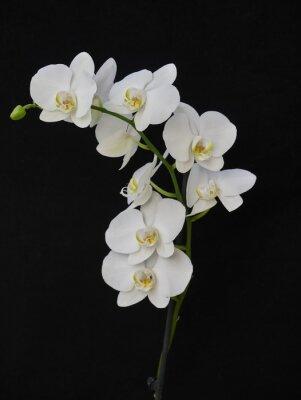 Canvastavlor blek vit orkidé närbild på svart bakgrund