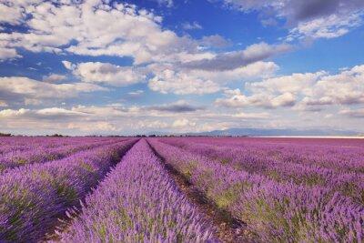 Canvastavlor Blommande lavendelfält i Provence, södra Frankrike