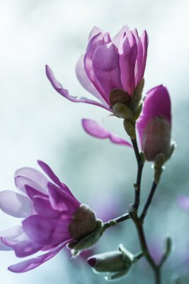 Canvastavlor Blommande rosa magnolia
