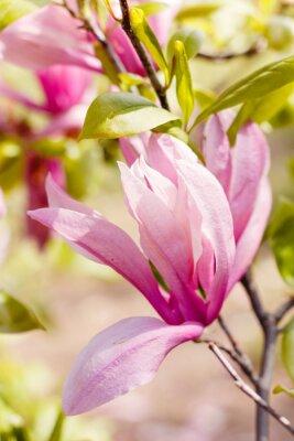 Canvastavlor Blommande rosa magnolia blommor på våren