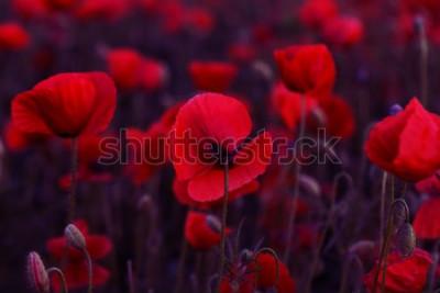 Canvastavlor Blommor Röda vallmo blommar på det vilda fältet. Vackra fält röda vallmo med selektiv fokus. Toning. Kreativ bearbetning i mörk lågnyckel