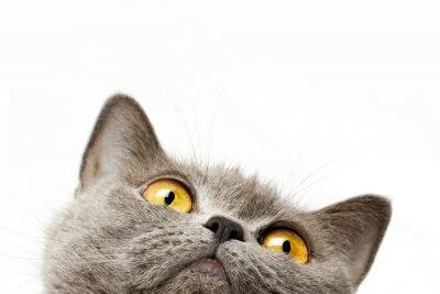 Canvastavlor Brittisk korthår katt